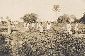 Cotton Harvest Scenery Madagascar Old Diez Photo 1924