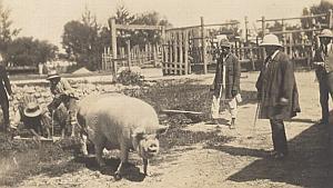 Pig Breeding Madagascar Old Diez Photo 1924