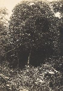 Plant of Madagascar Bush Old Diez Photo 1924