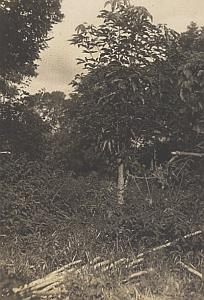 Plant of Madagascar Tree Old Diez Photo 1924