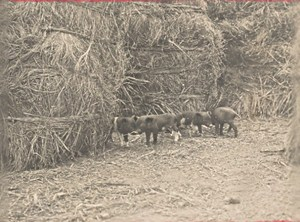 Madagascar Isalo District Pig Farming Old Photo 1900