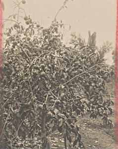 Madagascar Isalo District Fruit Tree Old Photo 1900