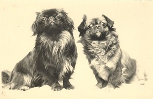 France Dog Portrait Study Pekingese Old Photo 1930