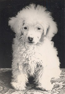 France Dog Portrait Study Poodle Old Photo 1930