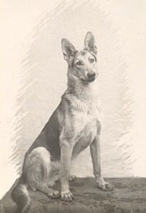 France Dog Portrait Study German Shepherd Old Photo 1930