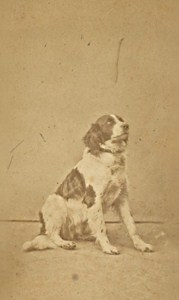 France Toulouse the Dog Pataud 3 year Old Photo CDV 1868
