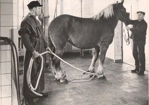 Germany Animal Health Clinic Horse Old Photo 1950