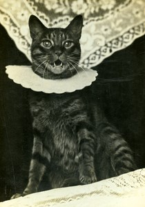 The cat Collar Study Composition France Old Photo 1900