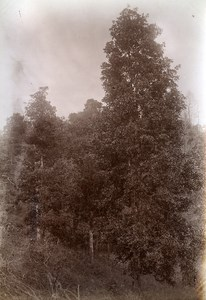 Ban Danh Chinese Star Anise Indochina Vietnam Old Photo Tong Sing 1895