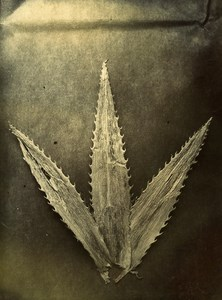 United Kingdom Lancashire Fleetwood Leaf Composition Study Old Photo 1892