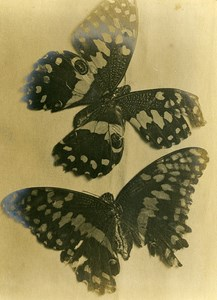 United Kingdom Lancashire Fleetwood Butterfly Composition Study Old Photo 1897
