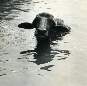 Egypt Nile Delta Faouzi Little Egyptian Boy Buffalo Photo Dominique Darbois 1965