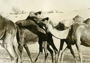 India Group of Camels Old Anonymous Photo 1960