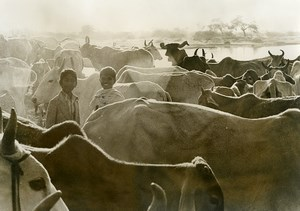 India Scene from Everyday Life Smiling Children & Cow Herd Old photo 1960