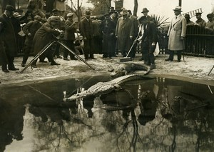 Germany Berlin Zoo Alligators Cinema Reporter Old Photo Scherl 1925