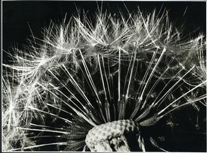 France Photographic Study Dandelion Flower Close Up Old Deplechin Photo 1960