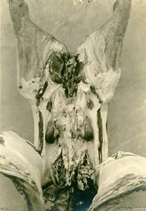 France Reims Slaughterhouse Veterinary Medecine Cryptorchidism Old Photo 1910
