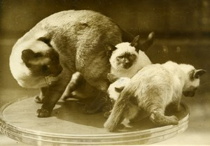 France Paris salle Wagram Cat Show Siamese Family Chat Siamois Press Photo 1933