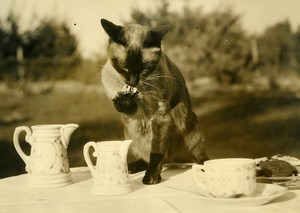 France Siamese Cat Kali Loves Milk Chat Siamois Old Press Photo 1947