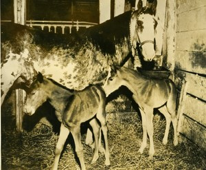 USA Pennsylvania Zelienople Rare Twin Foals Mare Poulains Old Press Photo 1948