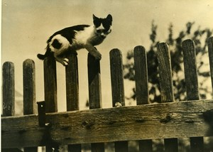 France Cat Balance on Wooden Fence Chat sur Cloture Old Press Photo 1948