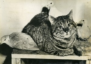 USA Illinois Evanston John Peterson's Cat & friends Doves Old Press Photo 1949