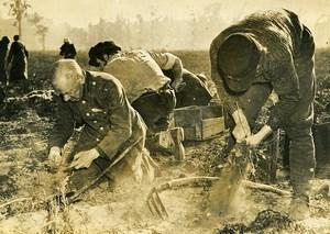 Germany Berlin Post War Potatoes Harvest Tiergarten Park Old Photo 1947