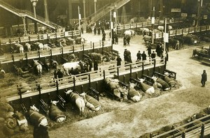 France Paris Grand Palais Agricultural Show Cows Old Photo Rol 1913