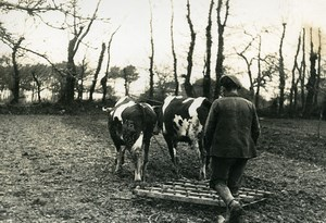 France Cotes du Nord Agriculture Ploughing Oxen Countryside Old Photo 1939