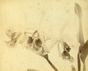 France Botany Flower Leaves Fruits Still Life Photograph Albumen Photo 1880