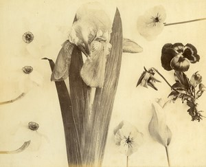 France Botany Flower Pansy Still Life Photograph Albumen Photo 1880