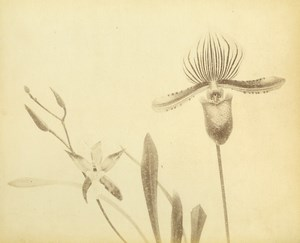 France Botany Flower Orchids Still Life Photograph Albumen Photo 1880