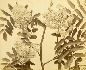 France Botany Flowers Elderflower ? Still Life Photograph Albumen Photo 1880