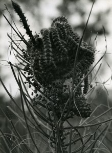 Portugal Guimaraes Photographic Study Plant Pine Tree ? Old Photo Azevedo 1950
