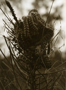 Portugal Guimaraes Photographic Study Plant Pine ? Sepia Old Photo Azevedo 1950