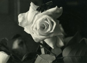 Portugal Guimaraes Photographic Study Flower Fly Close up Old Photo Azevedo 1950