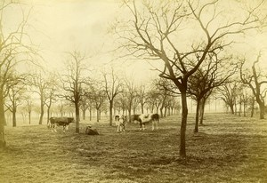 France Lambersart Lille Cattle Cows in Field Old Amateur Photo 1896