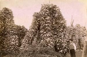 Portugal Azores Sao Miguel Piles of Corn Farming Old Photo Raposo 1890