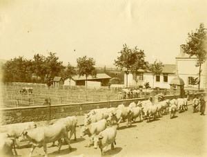 Daily Life in France Village Livestock Market Day Old Amateur Photo 1900
