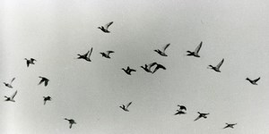 France Birds Flying Ducks ? Nature Amateur Wildlife Photography 1970's