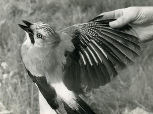 France Savoie Golese Pass Jay Bird Nature Amateur Wildlife Photography 1962