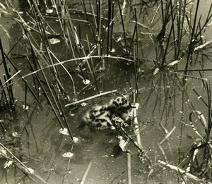 France Dombes Seagull Chick Nature Amateur Wildlife Photography 1962
