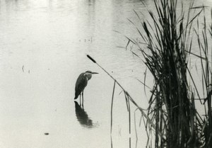 France Heron Egret Bird Cane Grass Nature Amateur Wildlife Photography 1970's