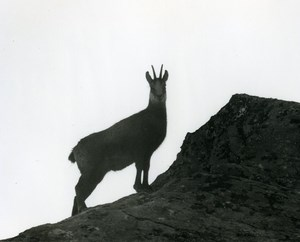 Italy Gran Paradiso National Park Chamois Amateur Wildlife Photography 1970's