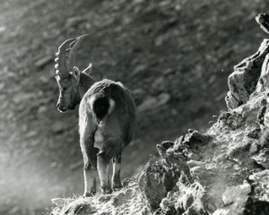 Italy Gran Paradiso National Park Alpine ibex Amateur Wildlife Photography 1970s
