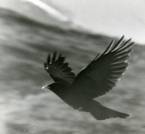 Italy Gran Paradiso Park Alpine chough Bird Amateur Wildlife Photography 1970s