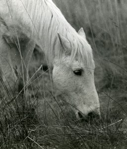 France Camargue Horse Nature Amateur Wildlife Photography 1970's