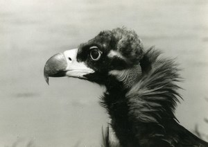 Spain Coto Doñana Cinereous Vulture Nature Amateur Wildlife Photography 1970's