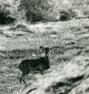 France Corsica Cazorla Mouflon Wild Sheep Amateur Wildlife Photography 1970's