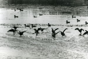 France Ducks on a Lake Birds Nature Amateur Wildlife Photography 1970's